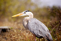 Great Blue Heron: Galápagos Islands, Ecuador